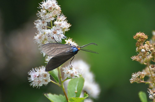 insect maine me moth sagadahoccounty taxonomy:binomial=ctenuchavirginica taxonomy:common=virginiactenuchamoth usa