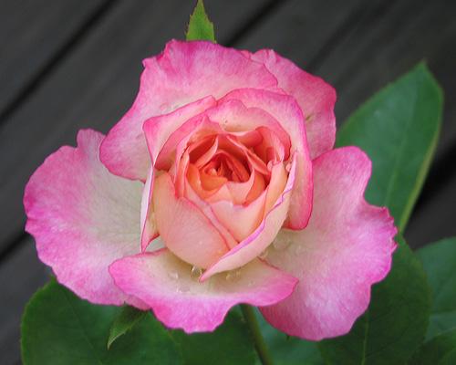 "Griffith Buck Rose ""Golden Princess."" by Leenechan"