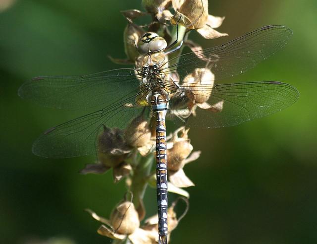 DSC_4252 dragonfly
