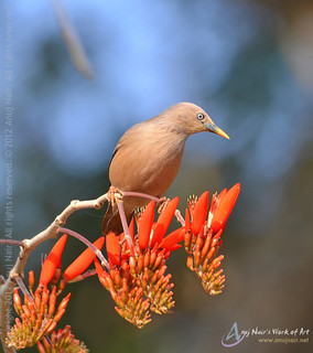 Chestnut-tailed Starling / Grey-headed Starling