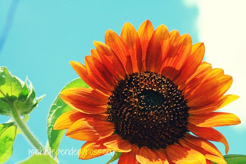 sunflower blue sky by MichellePendergrass