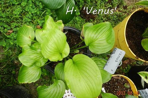 H. 'Venus'