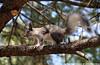Aberts squirrel in Los Alamos