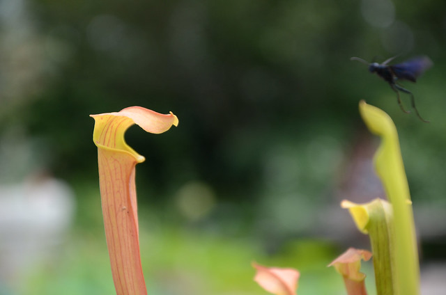 Sarracenia x ahlesii  and a potential meal. Photo by Jean-Marc Grambert.