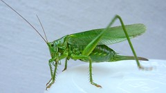 arthropod, animal, cricket, invertebrate, insect, macro photography, grasshopper, green, fauna, net winged insects,