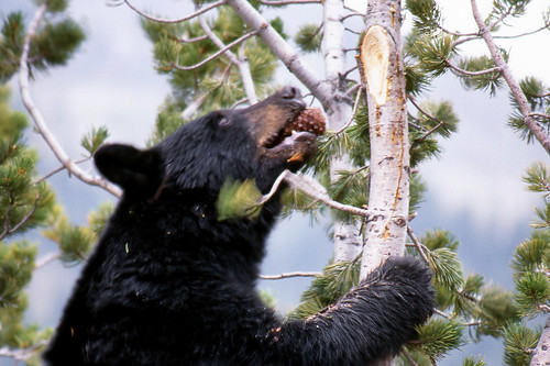 Evening Meal for Black Bear in Yellowstone