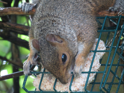 Young Squirrel8