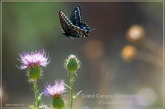 Grand Canyon Swallowtail butterfly by Ron Birrell 080812 DSC_5069 1100