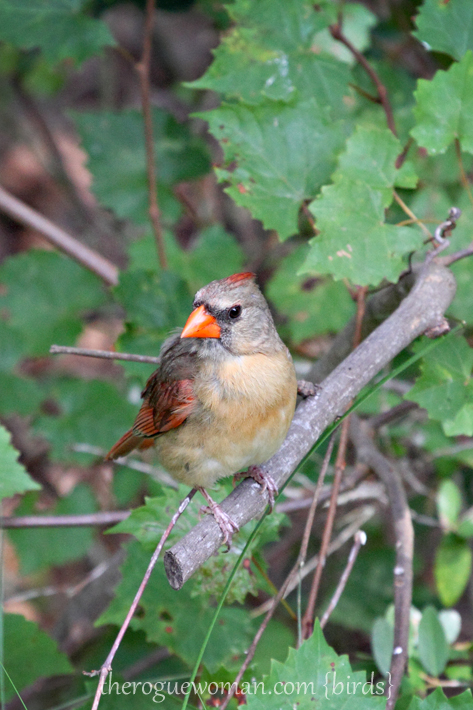 072512_04_bird_cardnial_female