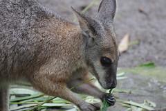 kangaroo(0.0), musk deer(0.0), wallaby(1.0), animal(1.0), mammal(1.0), fauna(1.0), macropodidae(1.0), wildlife(1.0),
