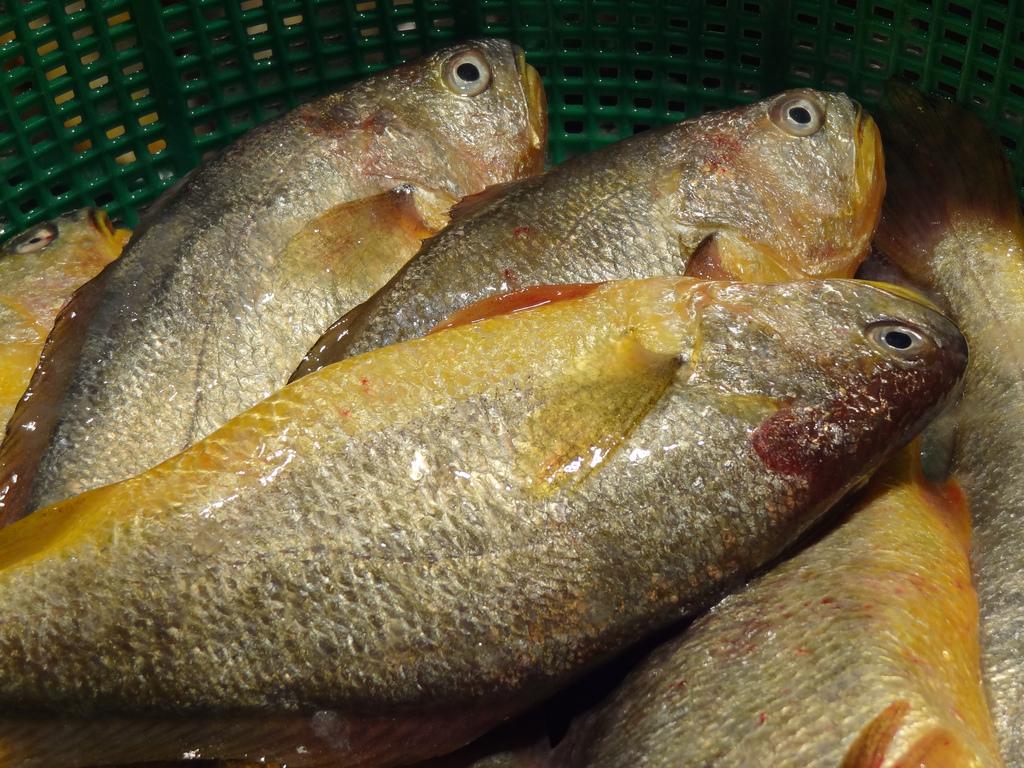 黃魚滋味鮮美又具多種養身療效,可謂一身益處,被過去的馬祖討海人視為黃金
