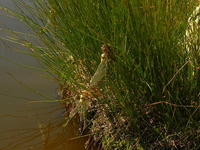 Naissances de libellules dans une petite mare