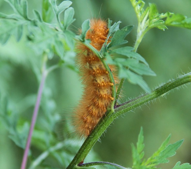 Virginia Tiger Moth caterpillar (spilosoma virginica ...