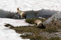 Asshole Marmot chases Innocent Marmot