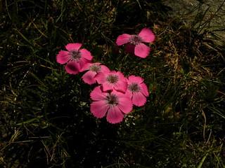 Dianthus pavonius=Oeillet oeil-de-paon