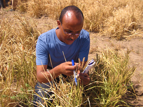 Kassahun Tesfaye a co-principal investigator from Addis Ababa University in one of the finger millet trial sites