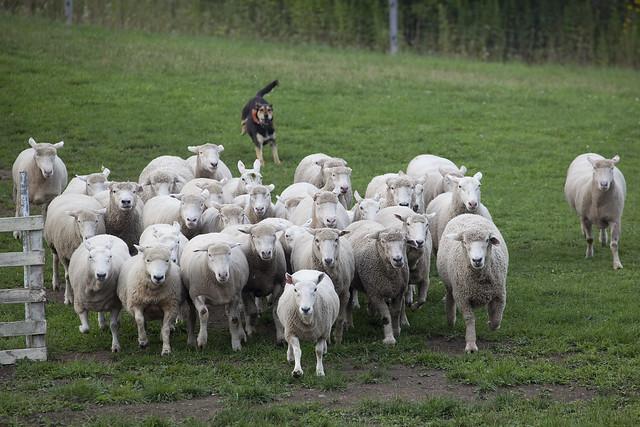 羊の群れを追う牧羊犬