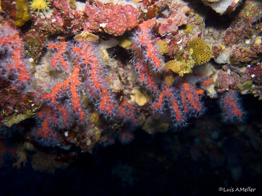 Mediterranean red Coral