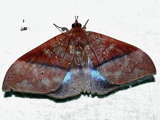 Noctuid Moth (Ischyja hemiphaea)