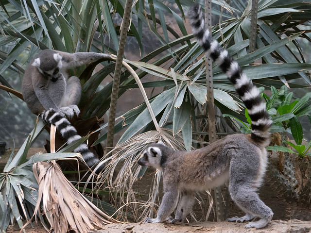 Ringtail Lemur Stares at His Own Tail