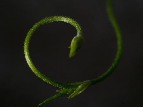 hops vine