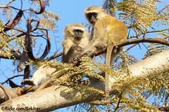 Green Monkey - Grüne Meerkatze, Senga Bay, Malawi