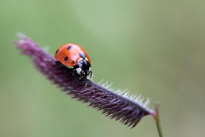 2016 9 3 - Grama Ladybug - 9S3A1885
