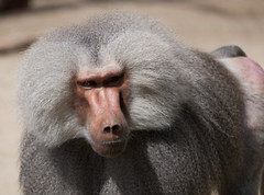 drill(0.0), macaque(0.0), nose(1.0), animal(1.0), baboon(1.0), monkey(1.0), snout(1.0), mammal(1.0), fauna(1.0), close-up(1.0), old world monkey(1.0), wildlife(1.0),