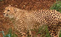 Cheetah Stands