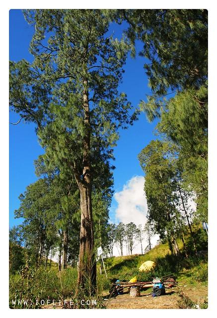 pohon segara anak