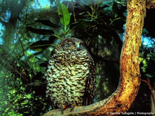 Powerful Owl Sleeping