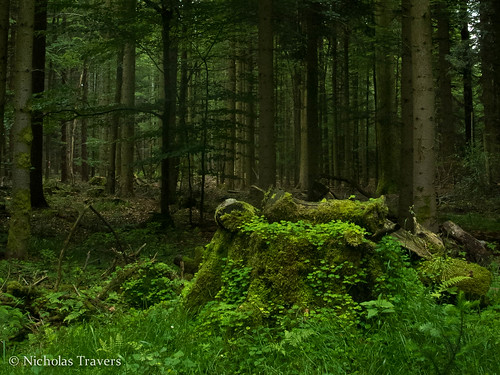 schwarzwald - woods stump