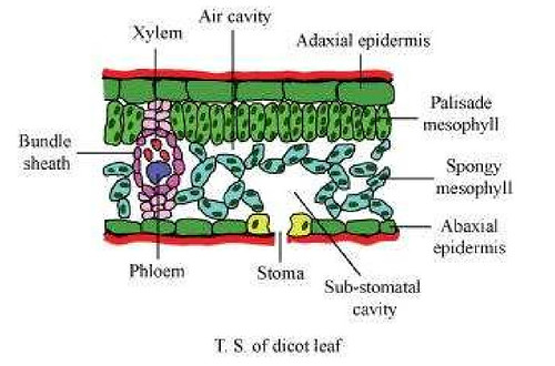 NCERT Solutions Class 11th Biology Chapter 6 Anatomy of Flowering – Leaf Anatomy Worksheet