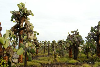 Galapagos prickly pear (Opuntia echios var. gigantea) forest on the coast of Santa Cruz, Galapagos Islands, Ecuador