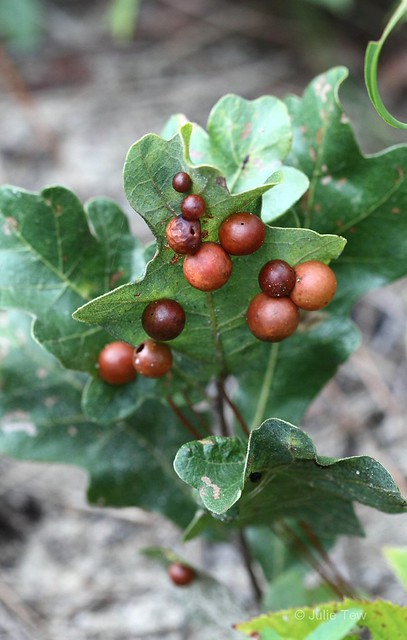 Insect Galls on Oak Leaves