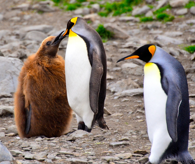 king penguin feeding