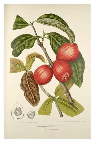 017-Manzana Malaya-Fleurs, fruits et feuillages choisis de l'ille de Java-1880- Berthe Hoola van Nooten