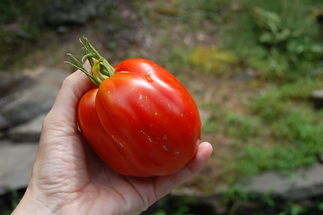 Ulster Germaid tomato from our garden by Eve Fox, Garden of Eating blog, copyright 2012