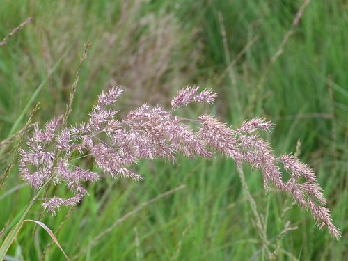 Wood Small-reed (Calamagrostis epigeious) by Peter Orchard