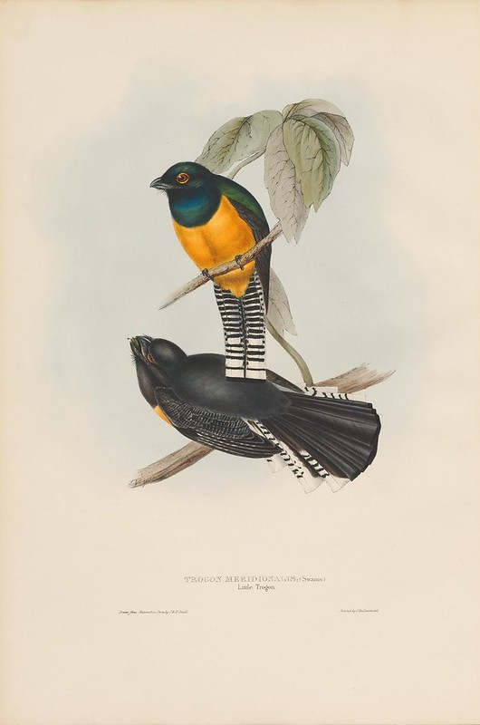hand-coloured book illustration by John Gould of Trogon bird species