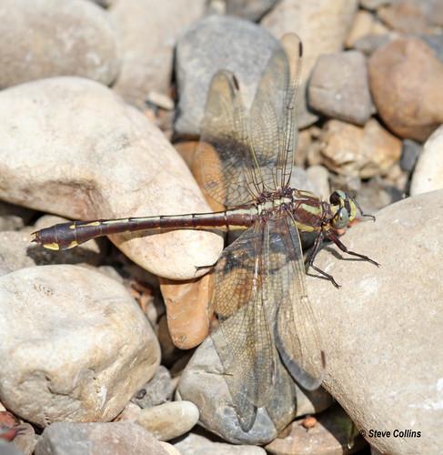 ar clubtail clarkcounty gomphus gomphusozarkensis ozarkclubtail