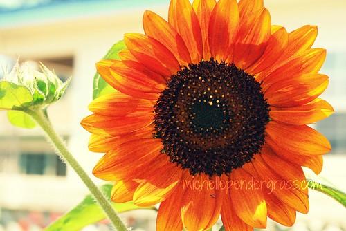 sunflower by MichellePendergrass
