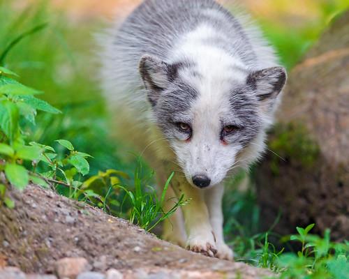 無料写真素材, 動物 , 狐・キツネ, ホッキョクギツネ