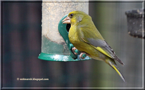 Adult Greenfinch