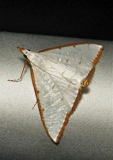 Crambid Moth (Ramila sp., Crambidae)