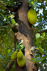 evergreen, branch, leaf, yellow, tree, flora, green, fruit, jungle, jackfruit,