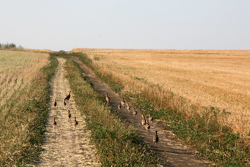 Regent ND is a popular hunting area and its easy to tell why theres pheasants everywhere