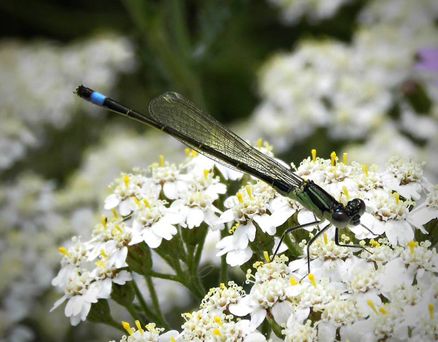 Damsel fly on Achillea