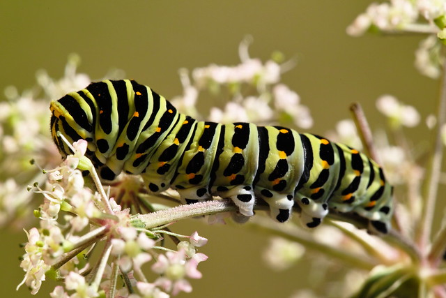 Papilio machaon, Old World Swallowtail caterpillar, ritariperhosen toukka.