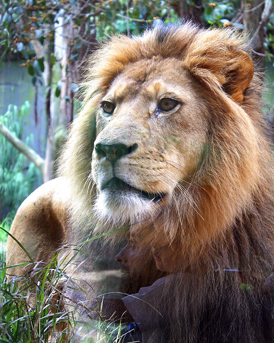 Lion King, Taronga Zoo, Sydney